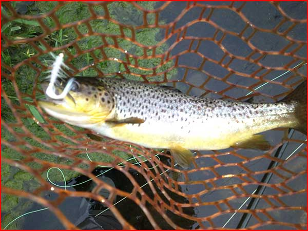 Brookville tailwater trout caught ona  white streamer
